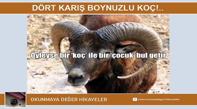 DÖRT KARIŞ BOYNUZLU KOÇ